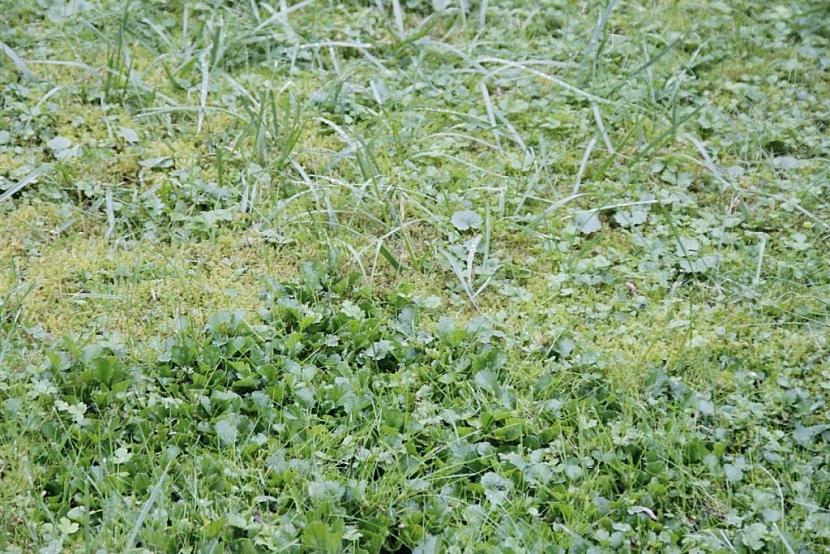 Plevel a mech lze z trávníku odstranit buď pracně mechanicky, nebo za použití speciálních přípravků ne hubení plevele a mechu