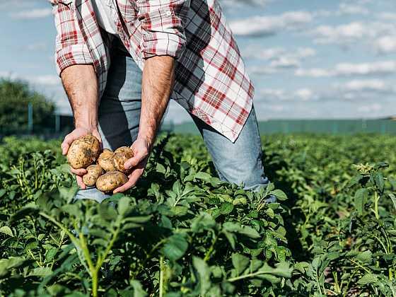 Aby úroda brambor byla hojná a kvalitní, je nutné zbavit pole plevele (Zdroj: Depositphotos)