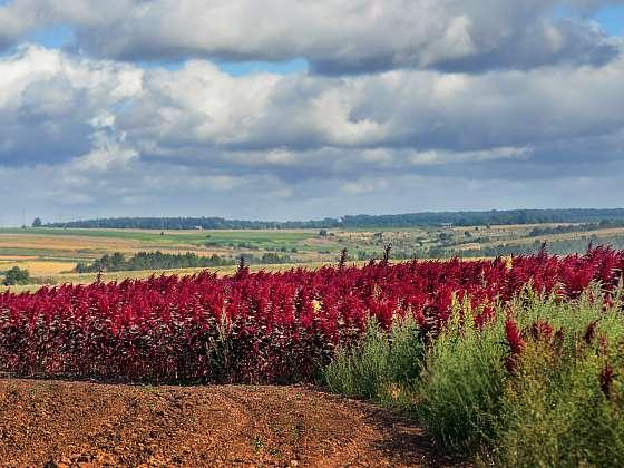Amarant je jednou z nejvýživnějších plodin na světě. Vypěstovat si ji můžete na své zahradě (Zdroj: Depositphotos (https://cz.depositphotos.com))