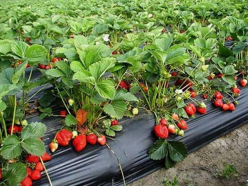 Jak vypěstovat čisté jahody: Černá fólie