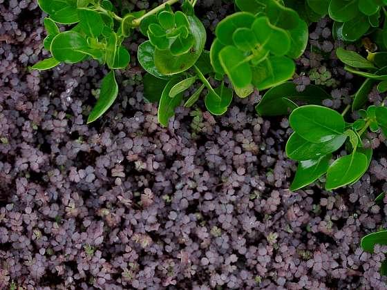 Acaena inermis Purpurea přináší kromě skvělého kobercového pokrytí i zajímavé oživení v podobě purpurových listů (Zdroj: Daniela Dušková)