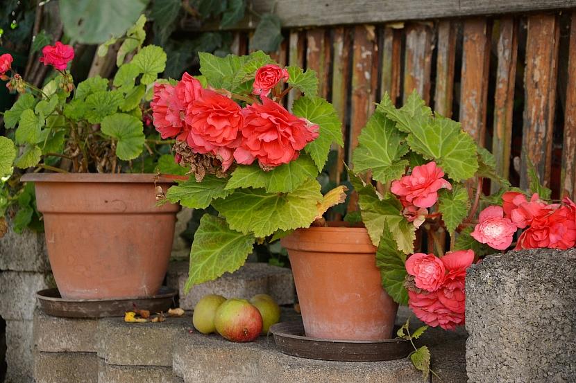 Květy s výrazným semeníkem odstraňte