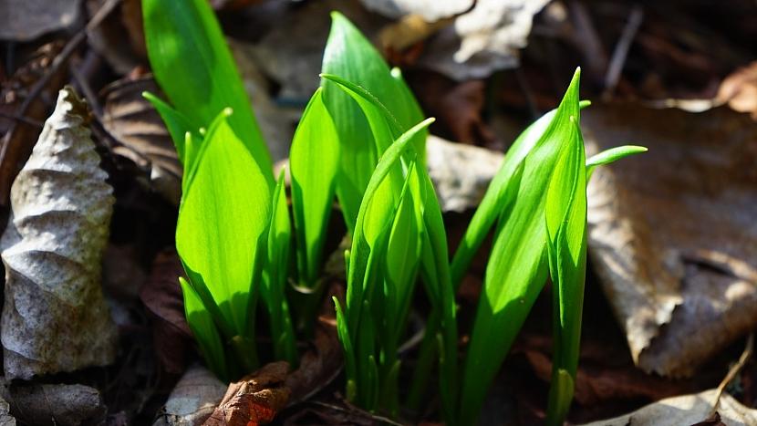 Česnek medvědí (Allium ursinum): listy vyrůstají ze země od dubna