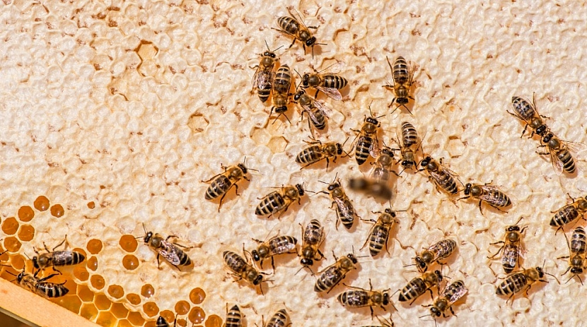 Plástev, včely