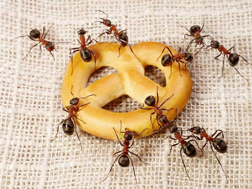 Mravenci jídlo