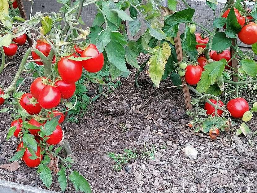 Pokud rajčata nestihnou venku dozrát, můžete je rozložit do bedýnek nebo regálů mezi jablka