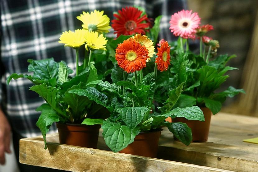 Barevné gerbery: Marnivé krásky v květináči 1