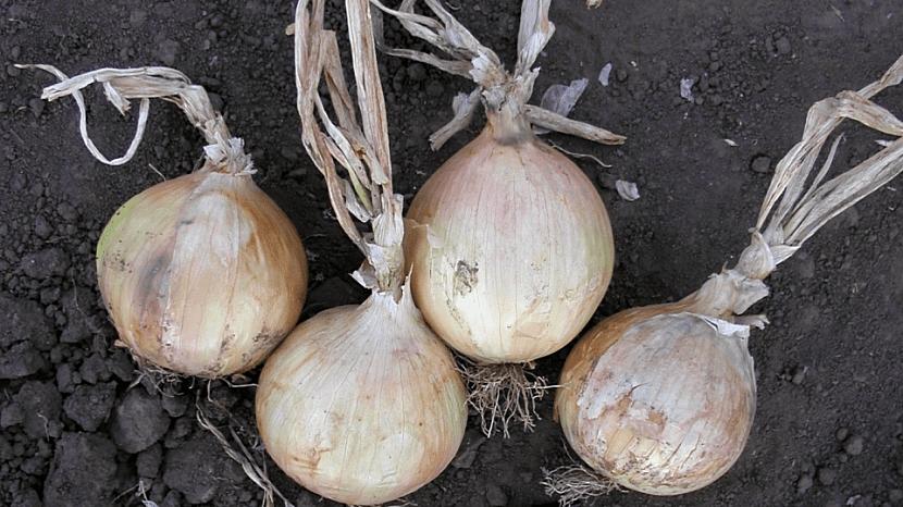 Pěstování cibule: pozdní odrůda salátové cibule Globo