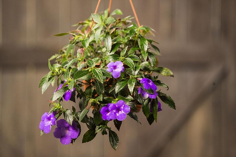 Honzík, kouzelná květina našich babiček, se vrací na výsluní 2