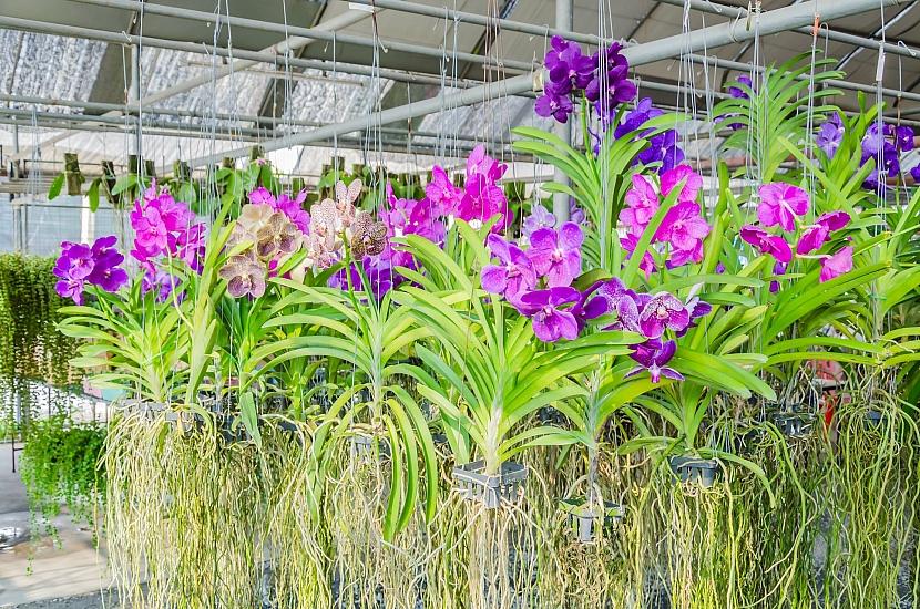 Závěsy orchidejí