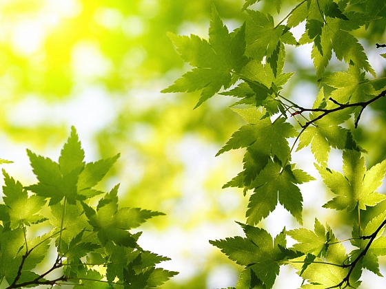 Pěstujeme japonské javory (Zdroj: Depositphotos)