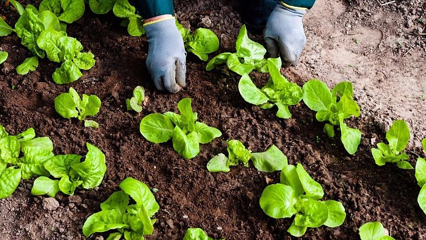Jak mít čerstvý salát až do prvních mrazíků 4