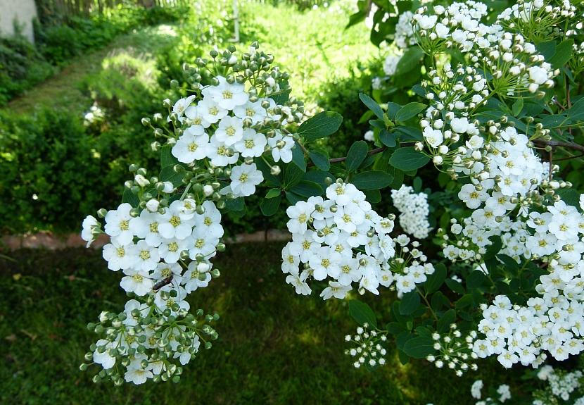 Bíle kvetoucí keře rozjasní každou zahradu 4