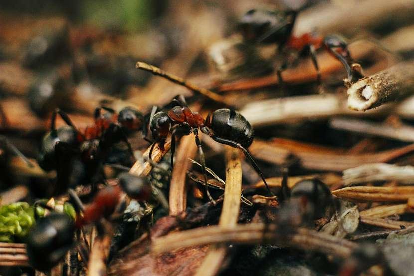 Mravenci lesní