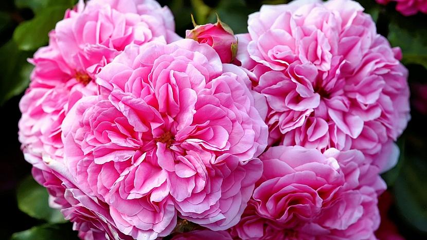 Růže stolistá (Rosa centifolia) pomáhá proti rýmě i stárnutí