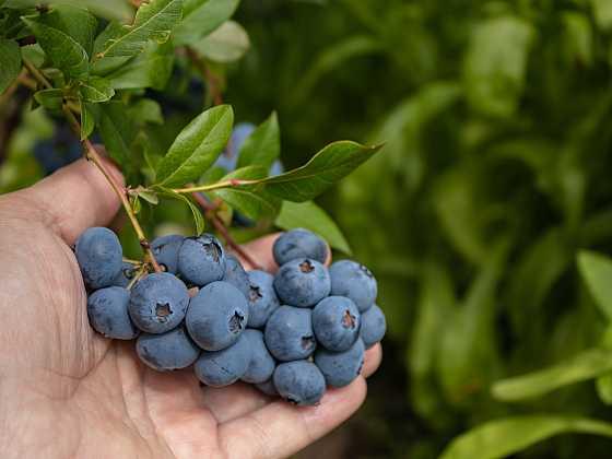 Umíte se správně postarat o kanadské borůvky, abyste měli bohatou úrodu? (Zdroj: Depositphotos)