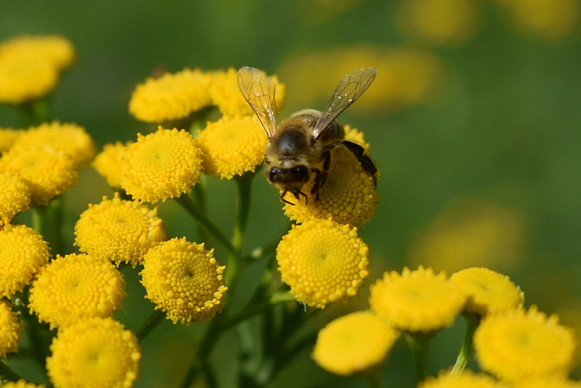 Včelku lákají i květy vratiče