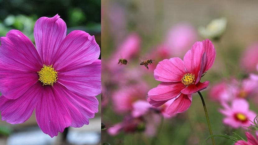 Přilákejte včelky na hostinu: Krásenka (Cosmos)