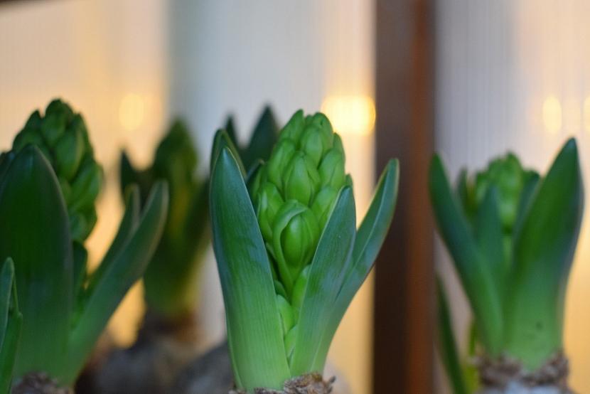 Rychlení hyacintů: jen krůček ke květu