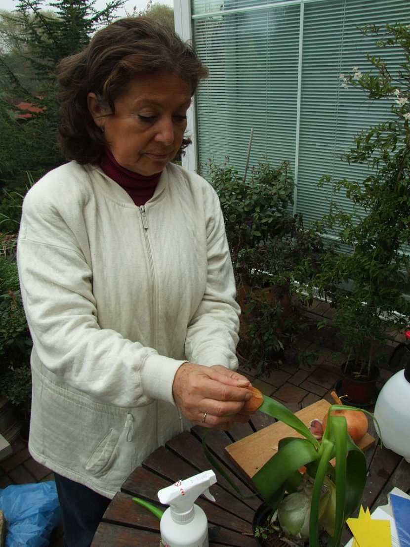 Při napadení houbovou chorobou nebo škůdci může pomoci česnek nebo cibule