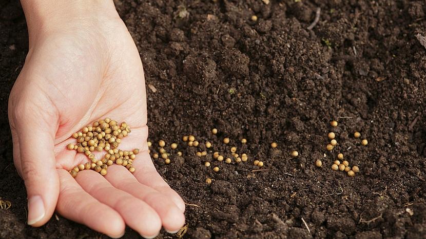 Koriandr setý (Coriandrum sativa): vysejte semínka do hloubky 1-3 cm