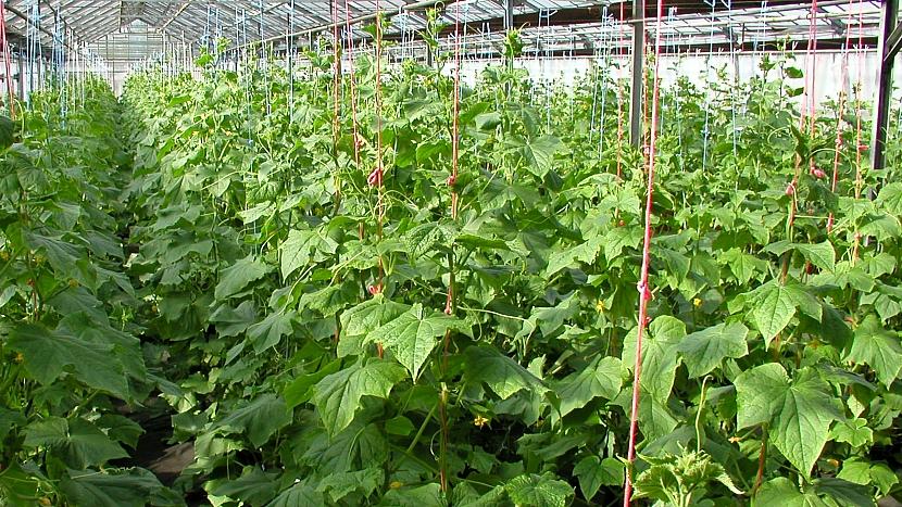 Jak pěstovat okurky: 5