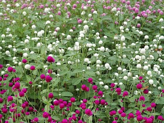 Na zahradě pěstujte také Laskavcovku kulovitou, jejíž květy si podrží svoji nádhernou barvu i po usušení (Zdroj: Ing. Ludmila Dušková)