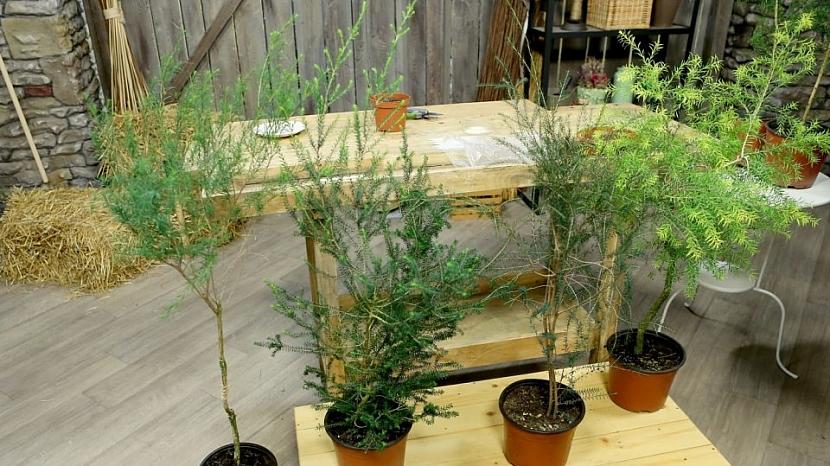 Rostlina kajeput a Tea tree olej 4