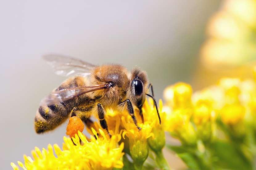 Detail včely na květu