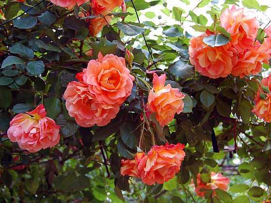 Růže jsou královny zahrad, proto jim věnujte alespoň chvíli péče (Zdroj: Depositphotos)