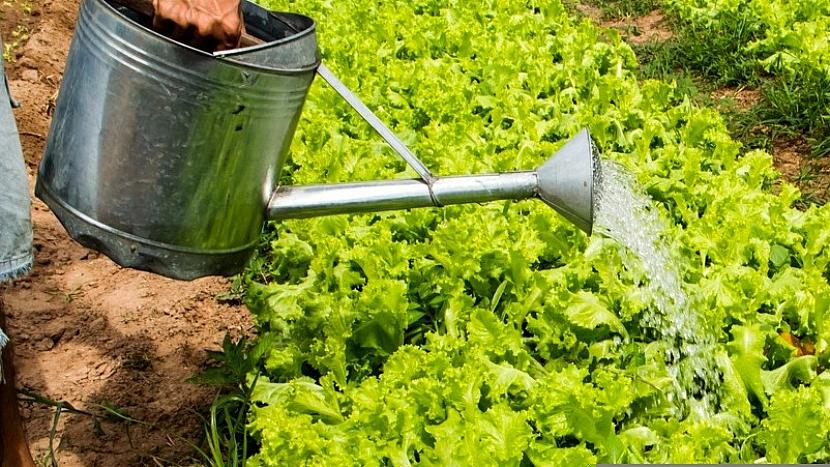 Jak mít čerstvý salát až do prvních mrazíků 5