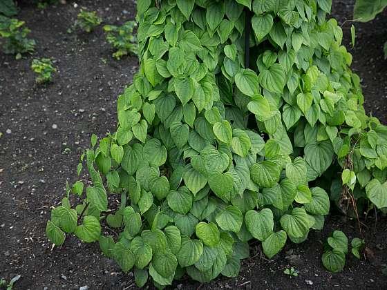 I u nás můžeme pěstovat exotické léčivé rostliny (Zdroj: Daniela Dušková)
