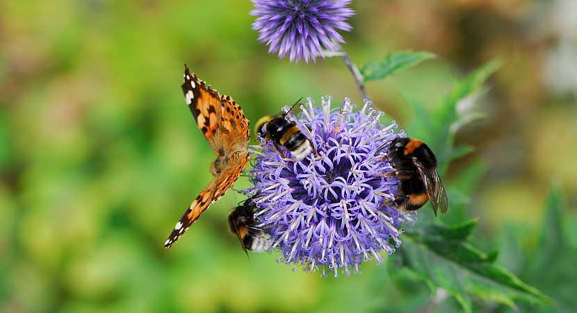 Bělotrn jako lákadlo pro včely a motýly