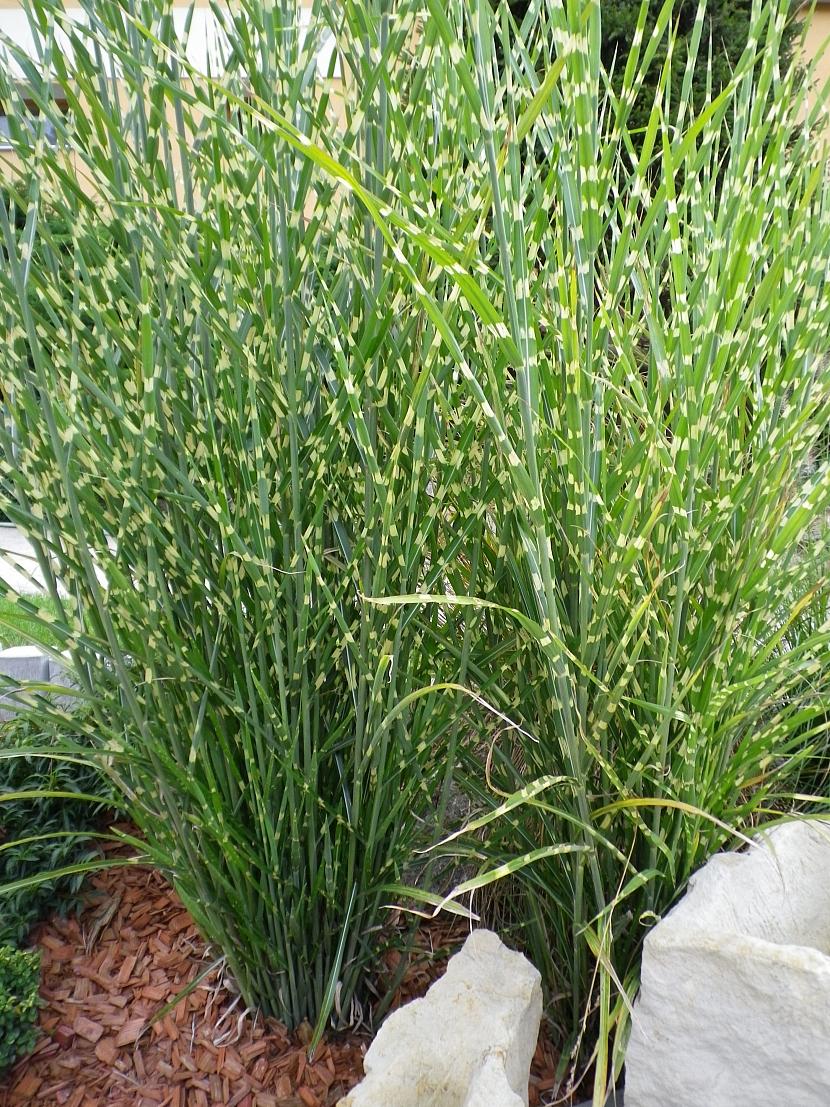 Miscanthus zebrinus -okrasná tráva