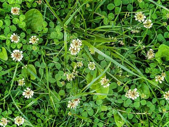 Pampelišky a jiné plevele v trávníku (Zdroj: Depositphotos)