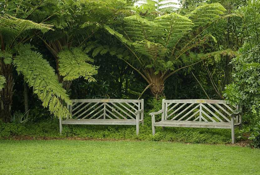 1 stromova kapradina Dicksonia Novy Zeland