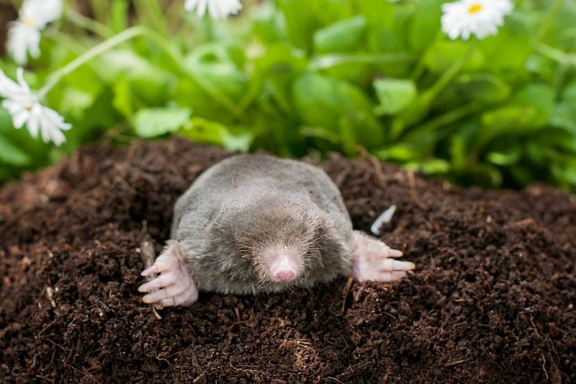 Krtek zahradě i pomáhá