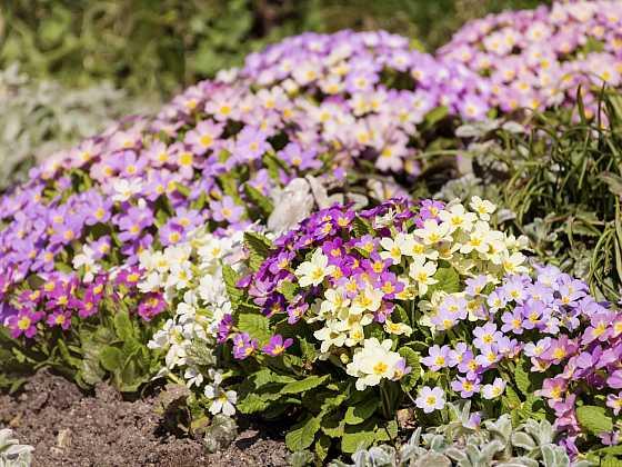 V dubnu vykvétají další něžné květiny (Zdroj: Depositphotos)