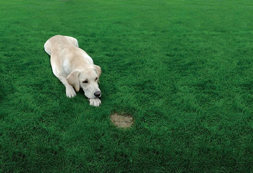 Na trávníku se často vyskytují lysá místa ve tvaru kruhu