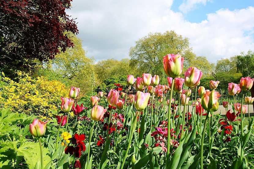Jarní tulipány