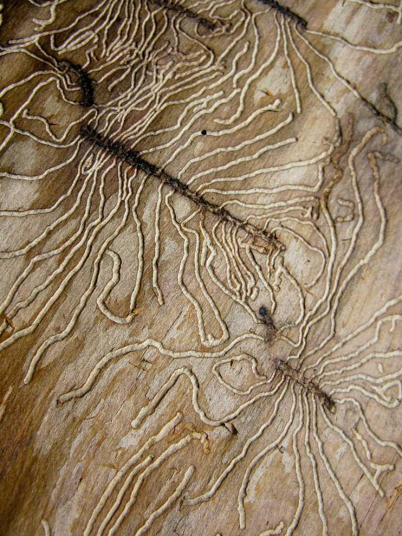 Kůrovec vytváří sice designově zajímavé obrazce chodbiček, ale jedná se velmi škodlivého zástupce hmyzu