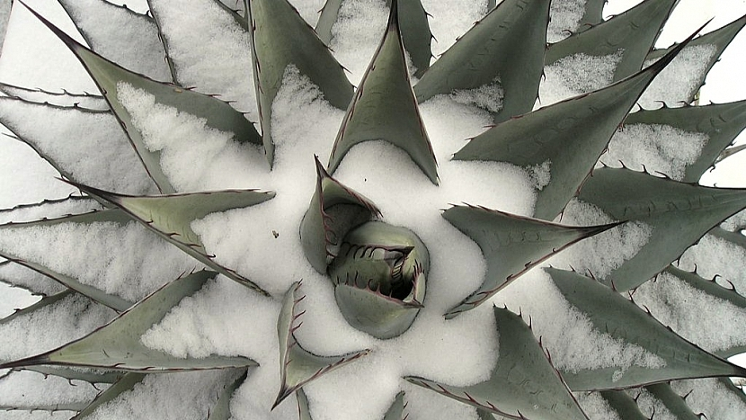 Pořiďte si mrazuvzdorné agáve: agave neomexicana pod sněhem