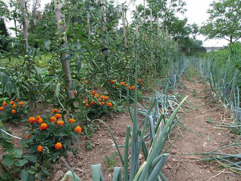 Střídáním plodin na zahrádce zabráníte množení různých nemocí a škůdců