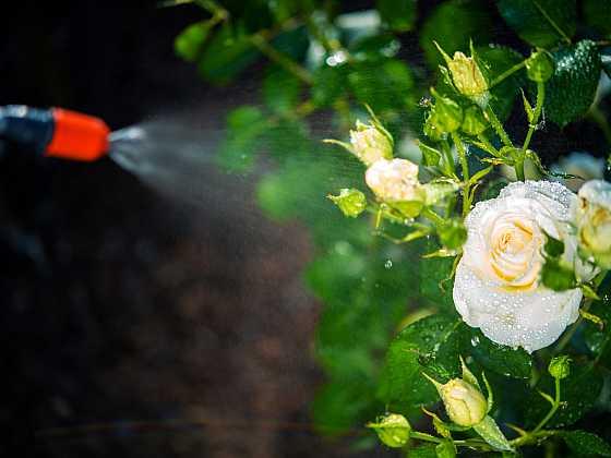 Ošetření a postřik na růže (Zdroj: Depositphotos)