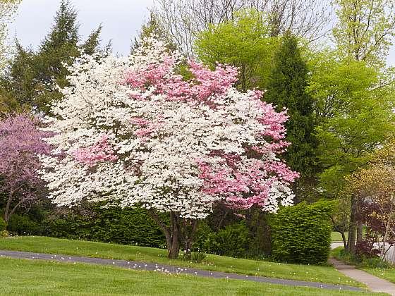 Málo známé kvetoucí dřeviny jménem ruj, žanovec nebo lespedézie (Zdroj: Depositphotos)