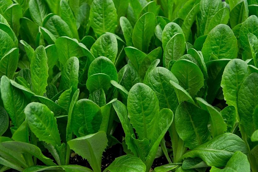 Předpověď počasí a zahrada: čas na výsev čekanky salátové - hlávkové