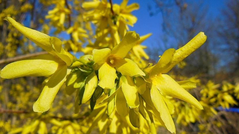 U nás se nejčastěji pěstuje zlatice prostřední (Forsythia x intermedia) a její kultivary