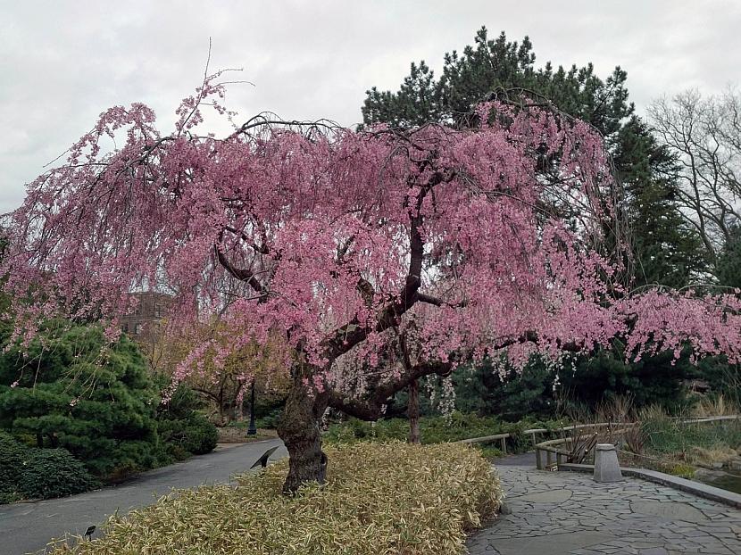 Menší strom, pocházející z Japonska, který se větví nízko nad zemí