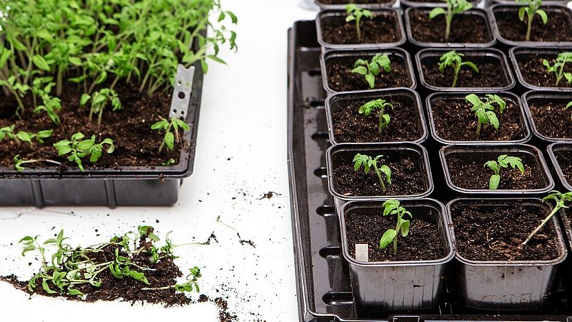 Jak si doma předpěstovat sazenice rajčat 3