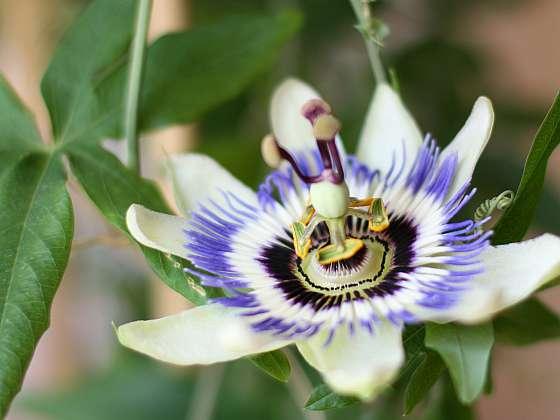 Mezi tropické ovoce, které si můžete vypěstovat doma, jsou mučenky - mají nejen výborné plody, ale i krásné květy (Zdroj: Depositphotos (https://cz.depositphotos.com))